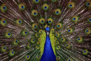 Dit is een foto van een pauw met al de veren omhoog, prachtig en trots. Zo trots als een pauw is Janny Hanegraaf op haar Permanent Mooi. De specialist permanente make-up en medische cosmetica