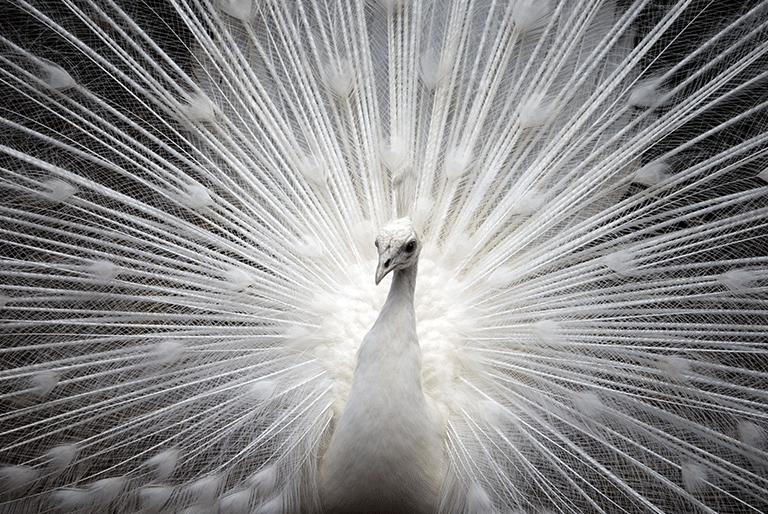 dit is een afbeelding van een witte pauw en beeld trots uit, zo trots als Janny Hanegraaf van permanent Mooi